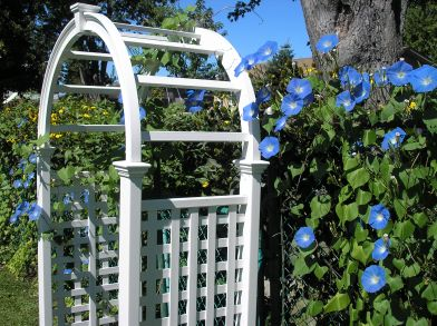 Morning Glories on Arbor