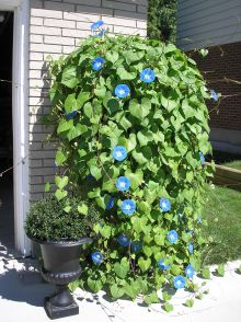 Morning Glories on steroids