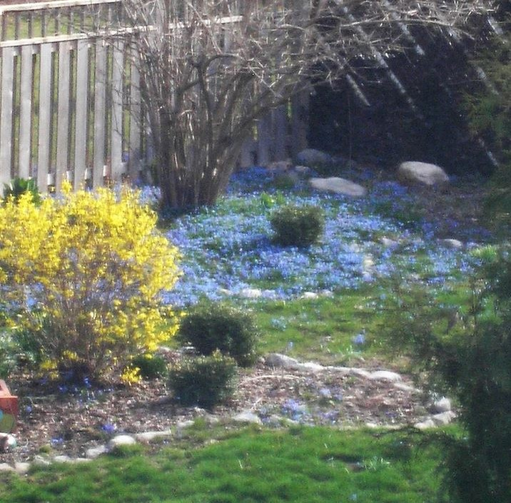 Forsythia and Blue Flowers