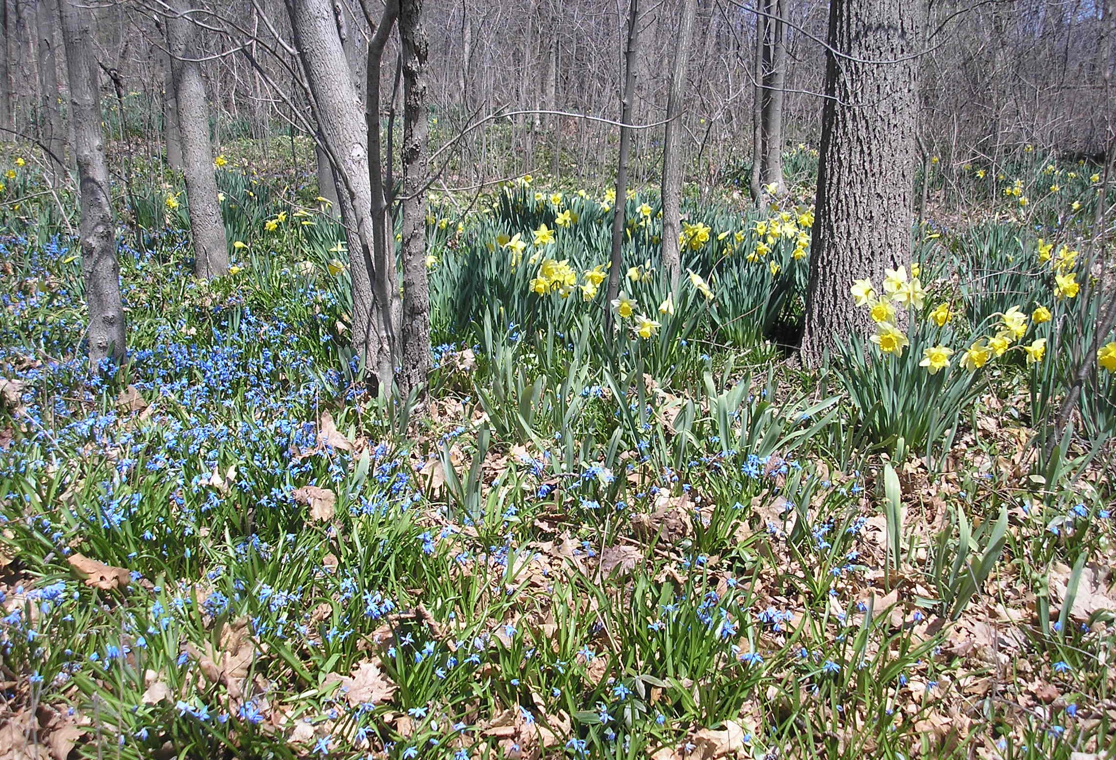 Daffodils & Blue Flowers