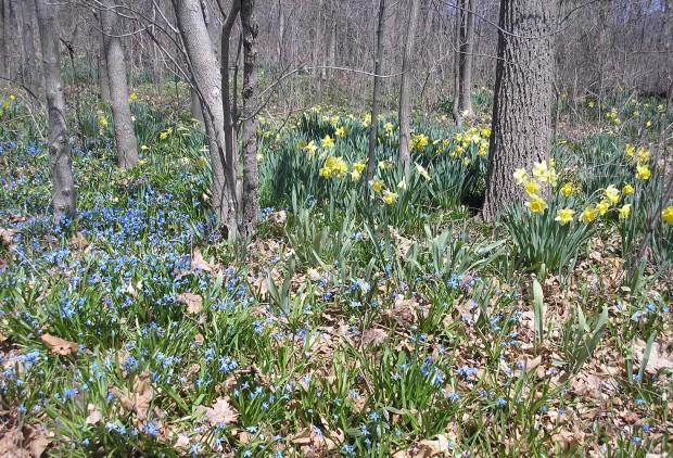 Daffodils & Blue Flowers