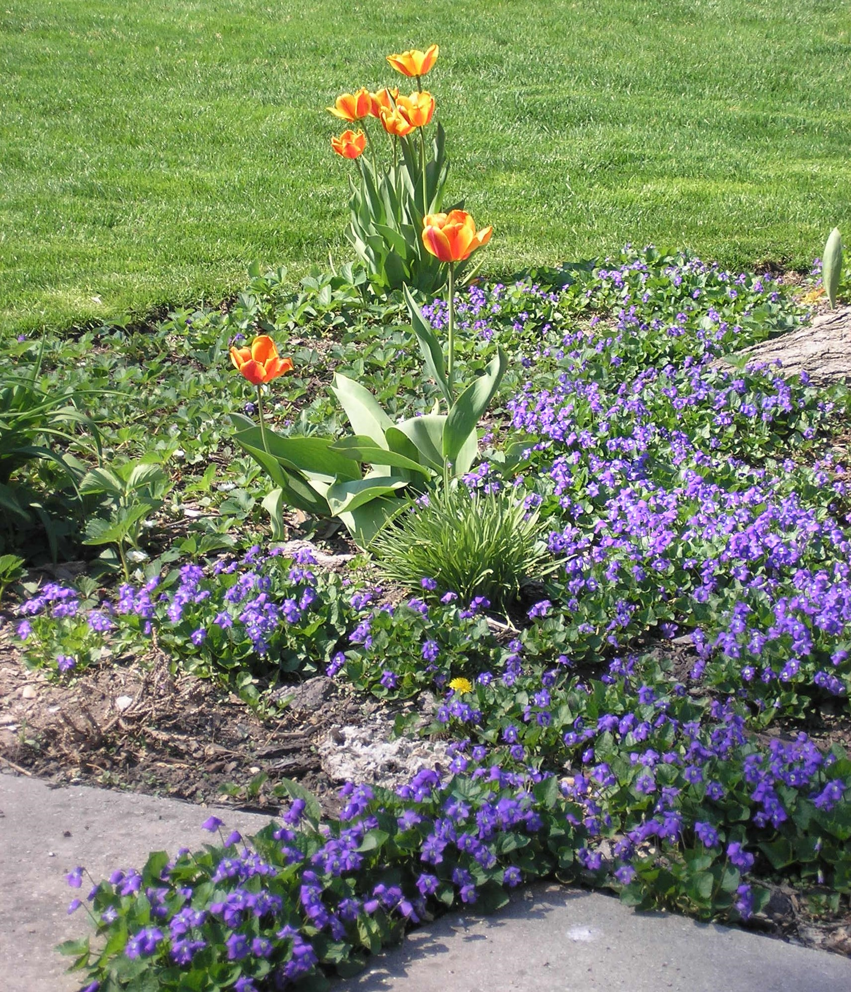 Purple Vinca and Orange Tulips