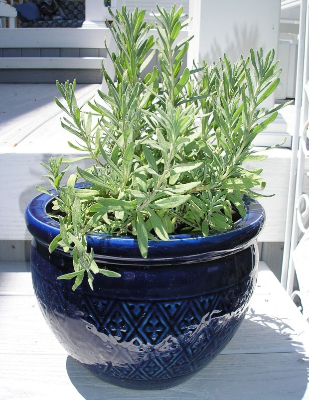 Lavender in a Blue Pot