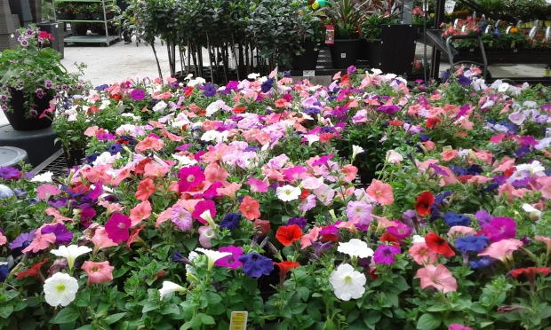nursery flowers petunias