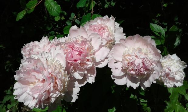 my pale pink peonies
