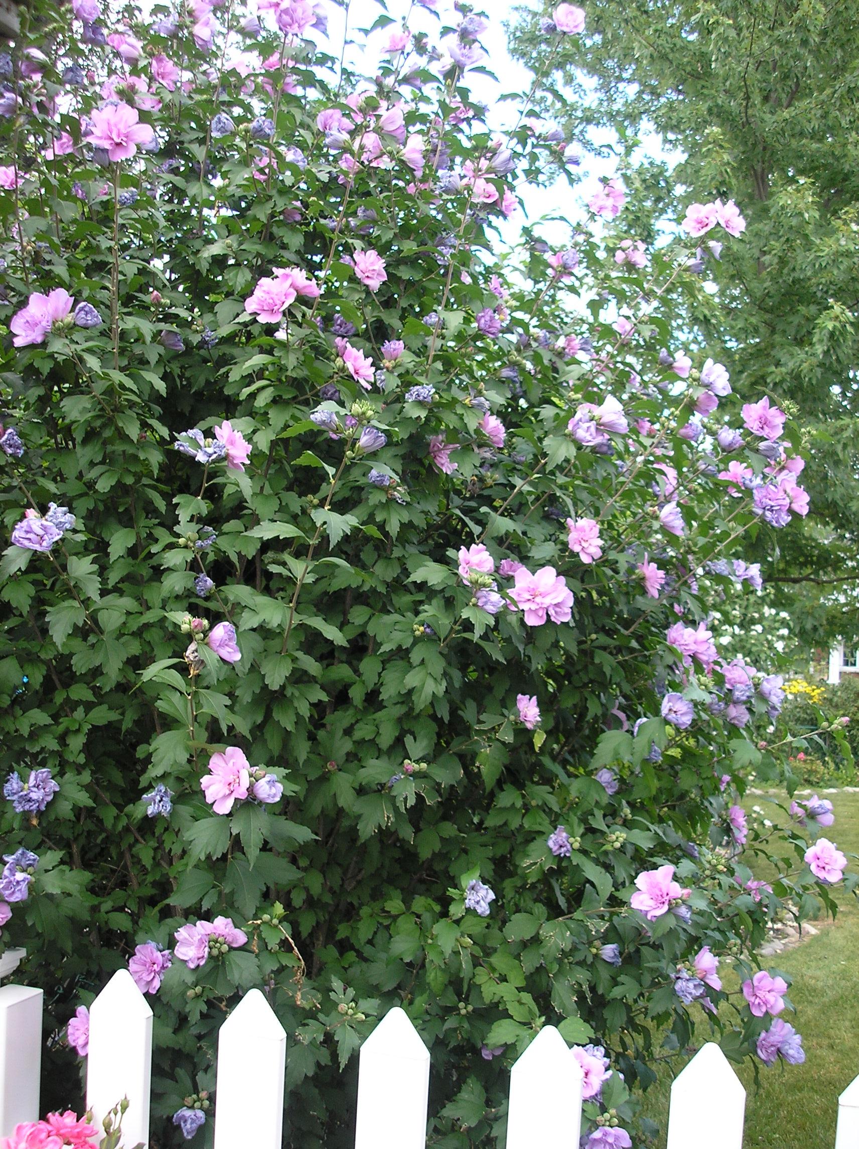 lavender rose of sharon
