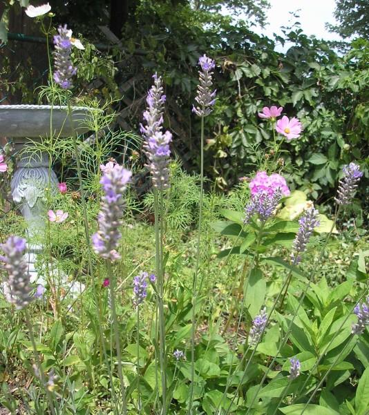 Lavender and bird bath