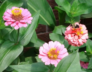 Zinnias and a bee