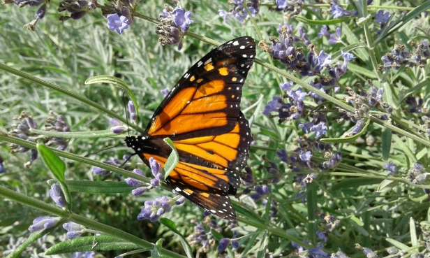 Monarchs are making a comeback