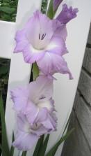 lavender glads