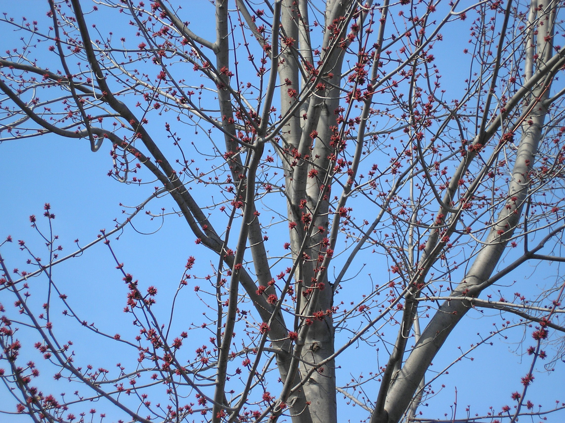 Blue sky and maple buds