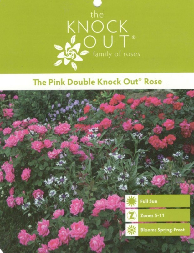 Knock OUt Roses 1 (2)