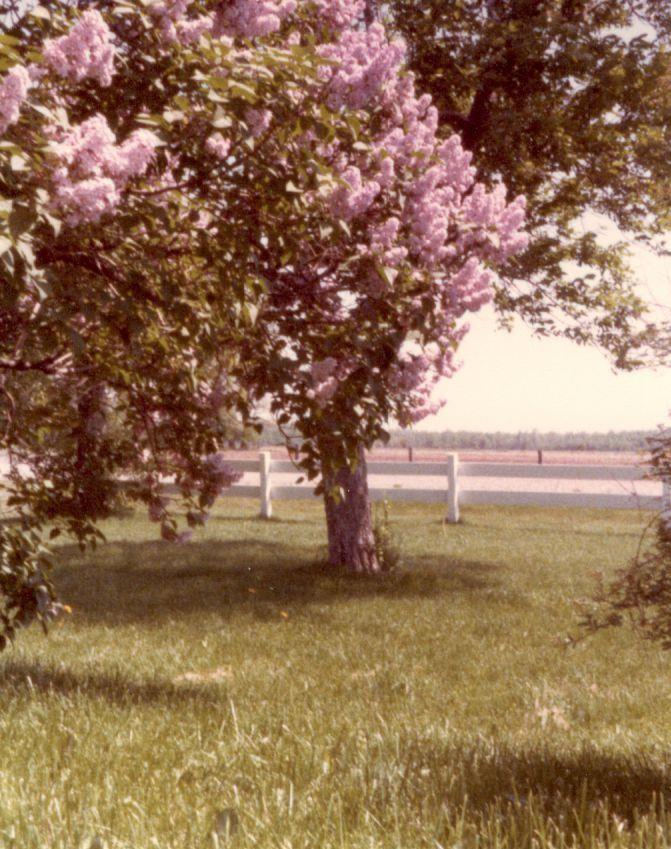 lilacs on the farm 1 (2)