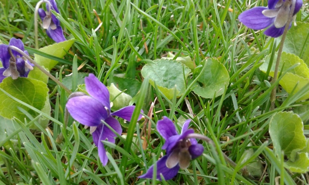 violets in the grass