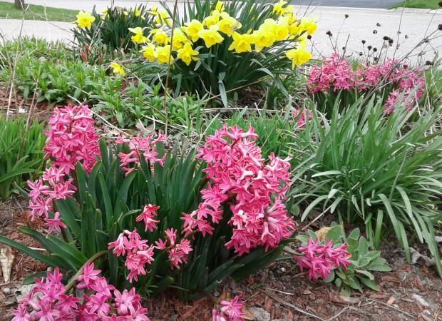 hyacinths spring garden