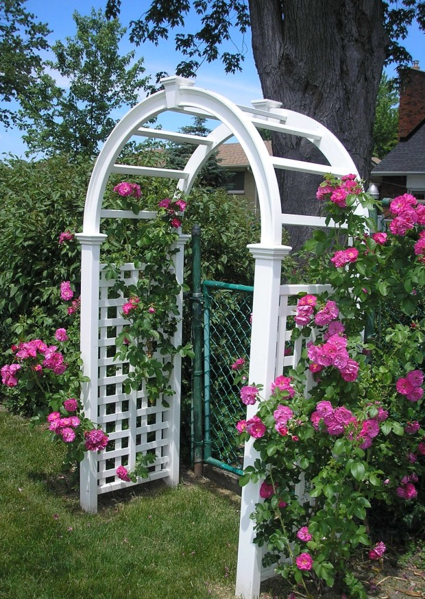 roses on arbor