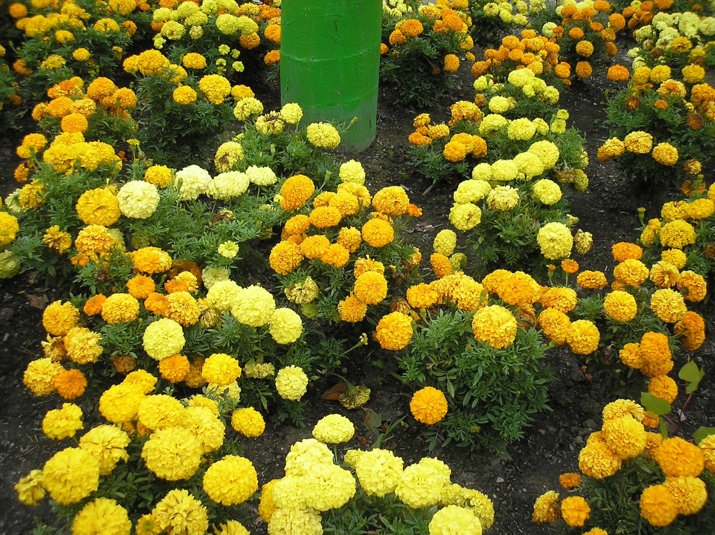 Fall Flowers - mums