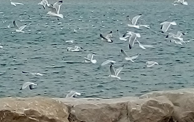Seagulls in winter