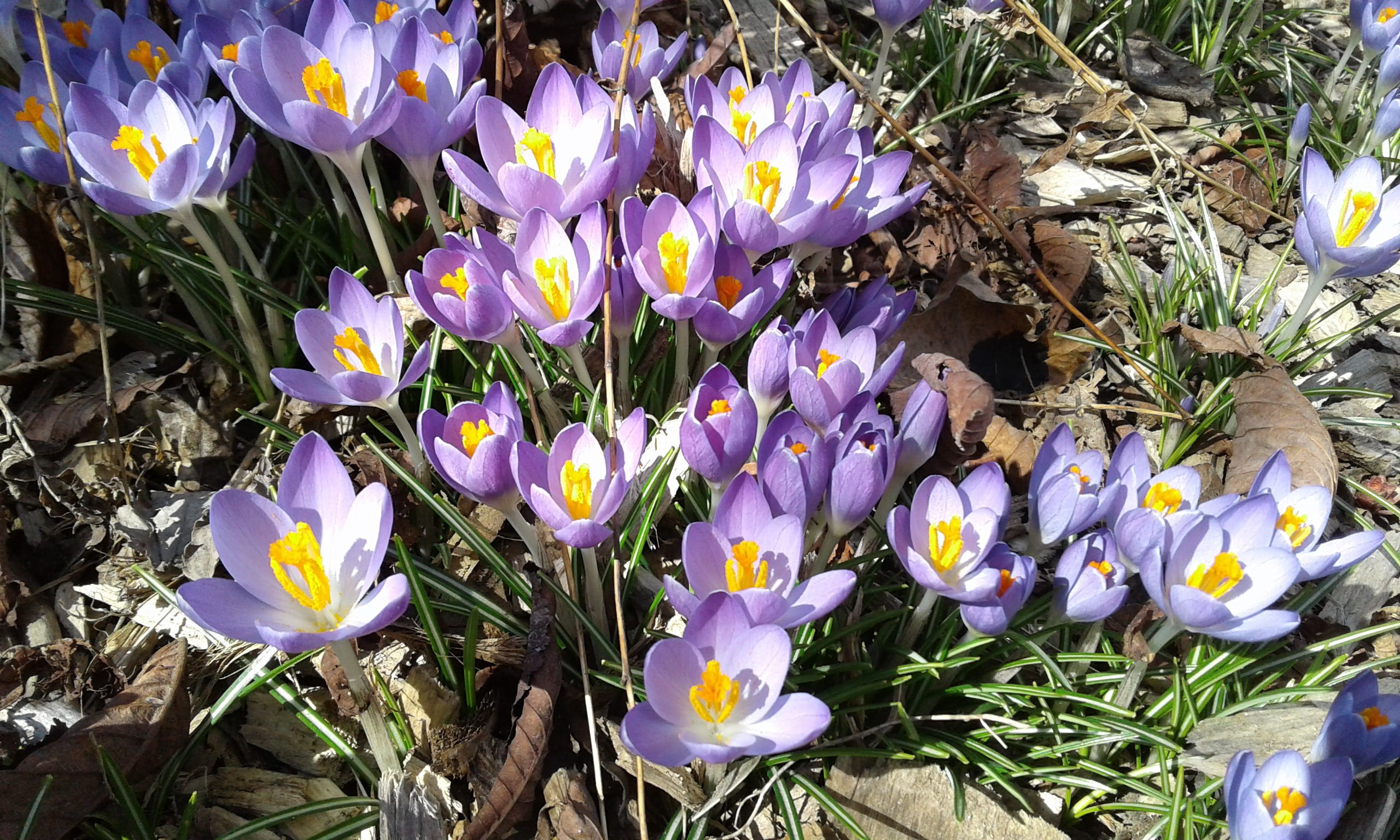 crocus in front of library