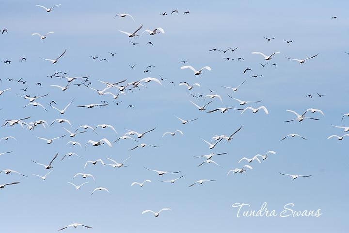 Tundra swans Lambton Shores