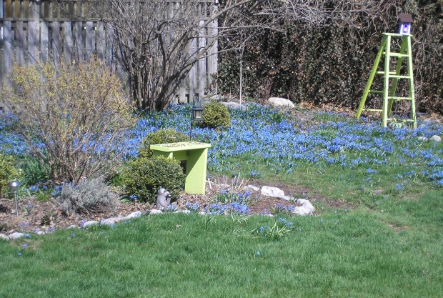Siberian Squill blue flowers