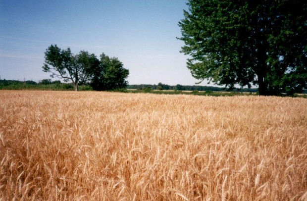 Wheat field two (2)