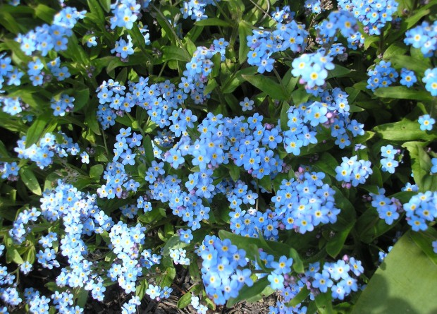 blue forget me nots