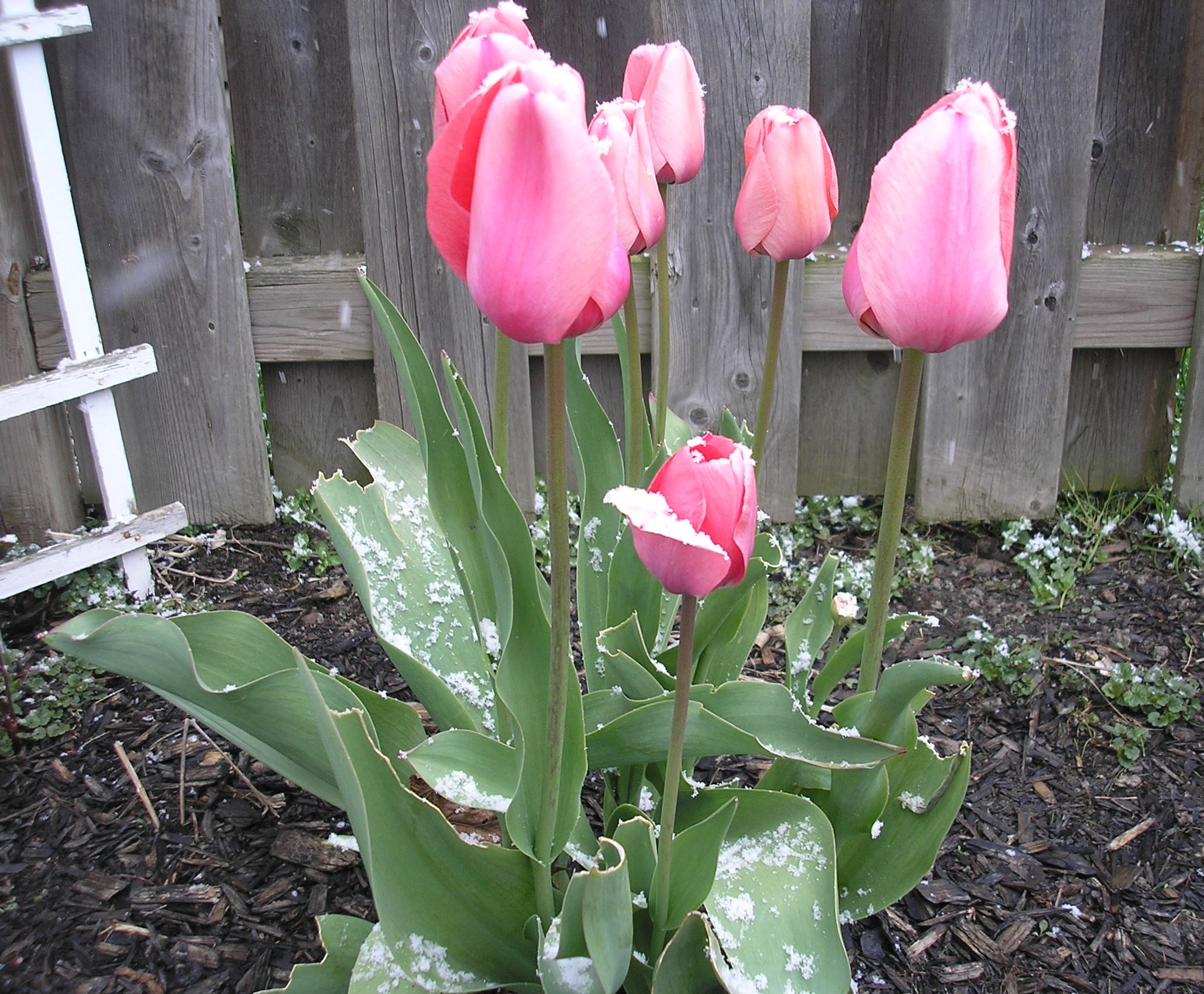 tulips with snow