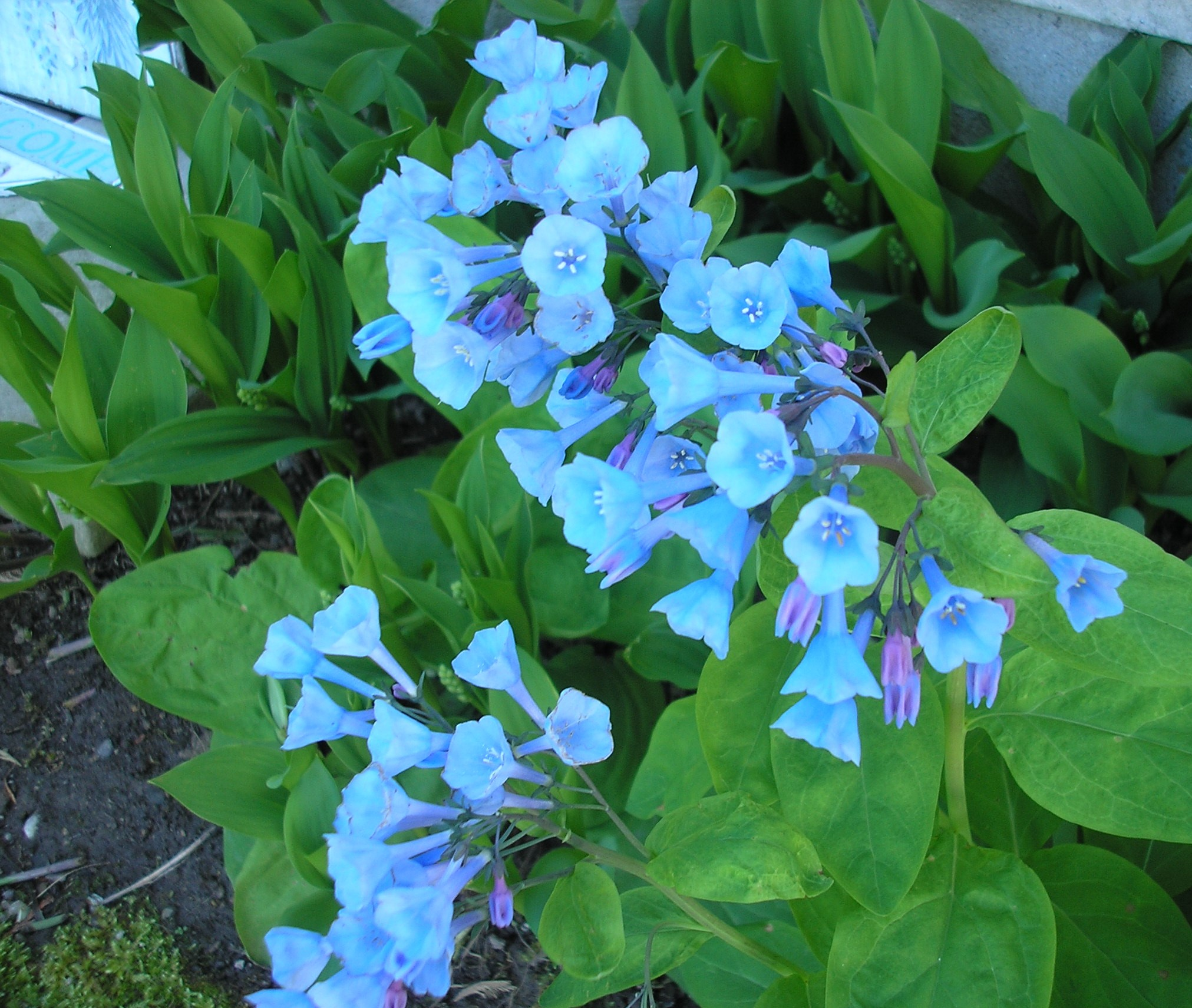 Blue flower near Lily of the Valley