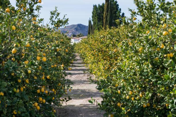 lemon grovel