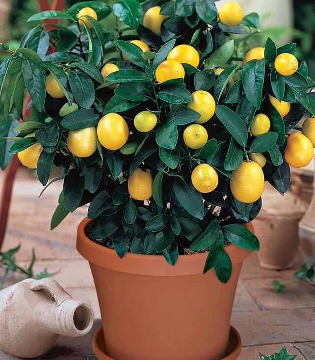 lemon tree in pot (2)