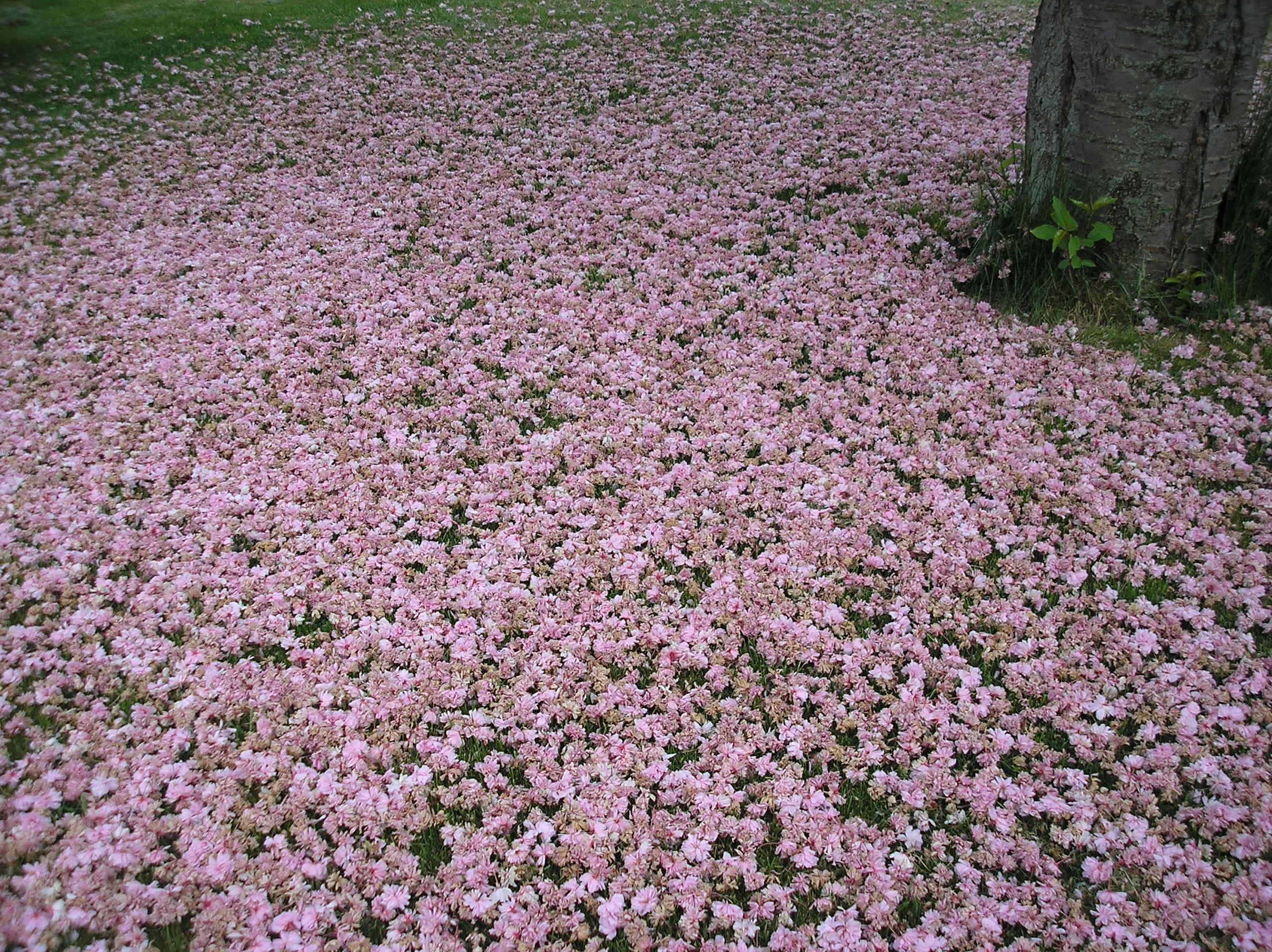cherry blossom carpet