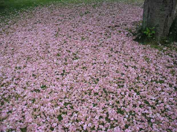 cherry blossom carpet