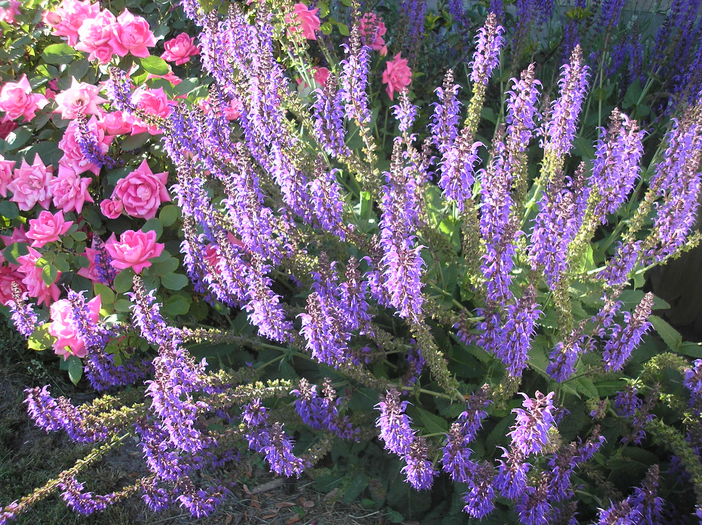 Russian sage and roses