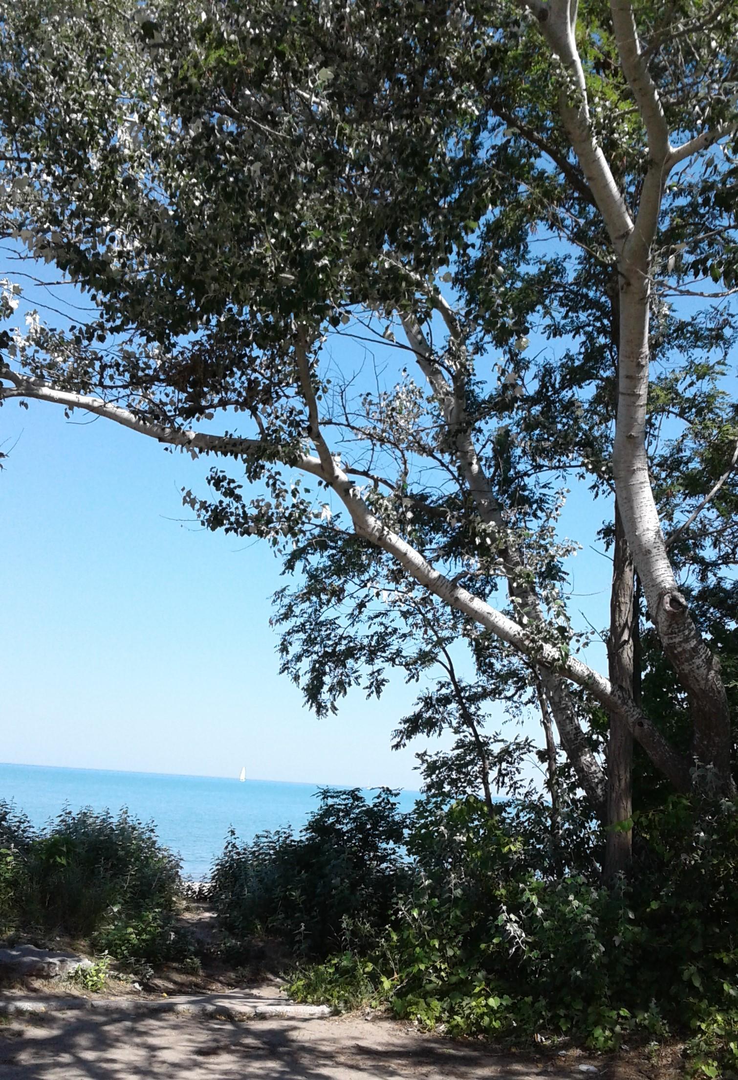 Canatara Park - Birch tree