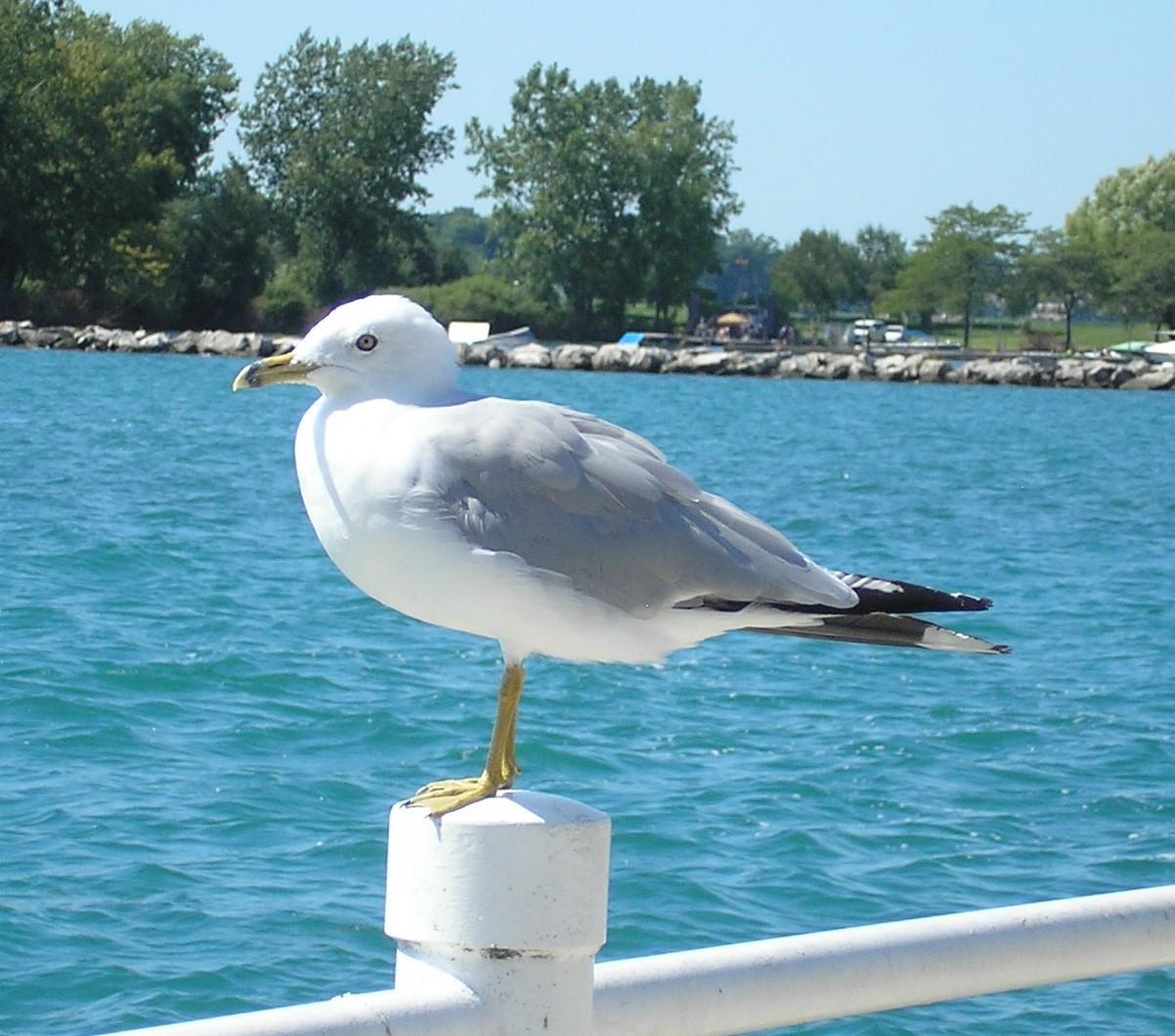 Centennial Park - Seagull closeup