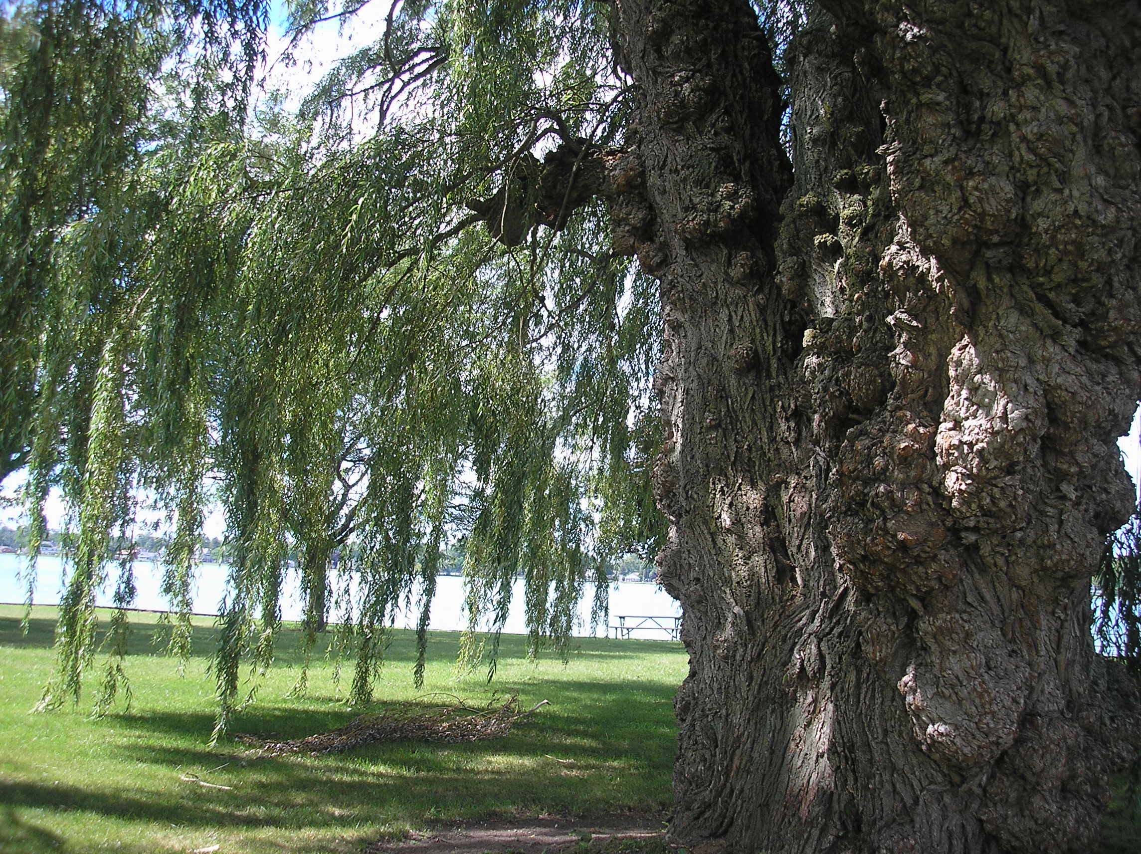Downriver park - willow tree